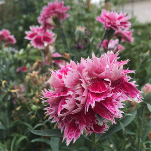 Carnation Gaiety Mix