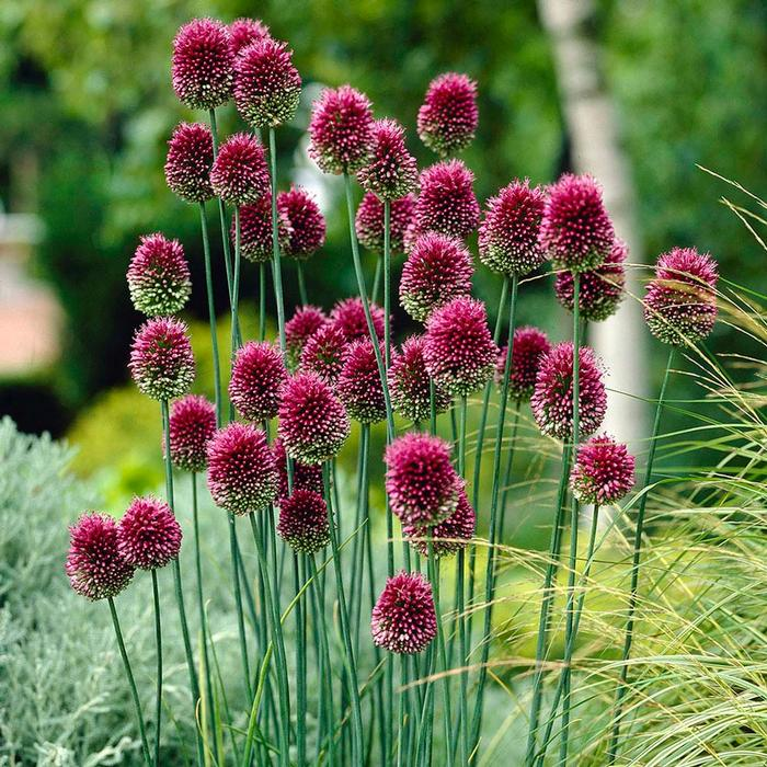 Drumstick Allium  - Walnut Creek Gardens