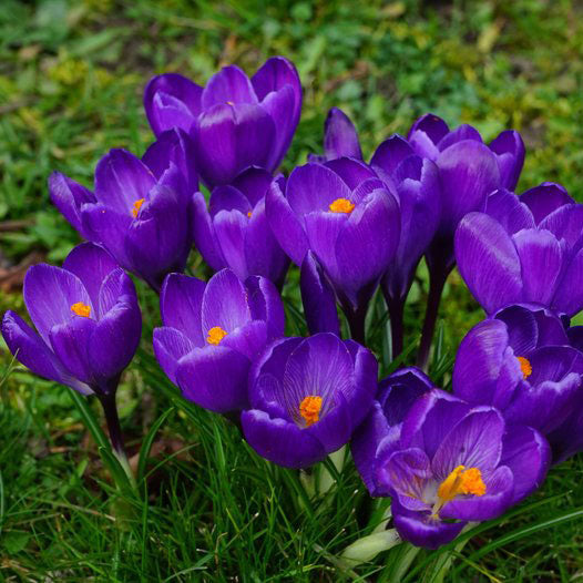 Giant Crocus Flower Record - 10 bulbs