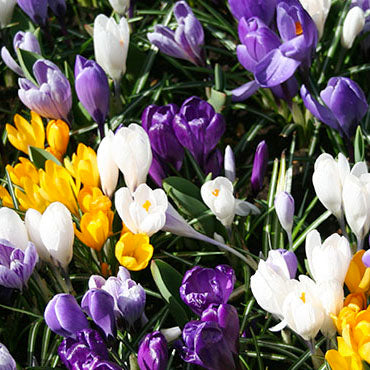 "Crocus Mix ""Spring Feelings"""