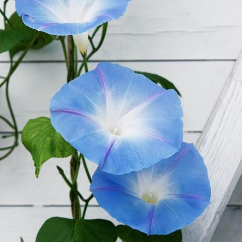 "Morning Glory ""Heavenly Blue"""