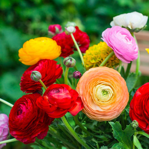 Ranunculus Mixed Colors - 10 bulbs