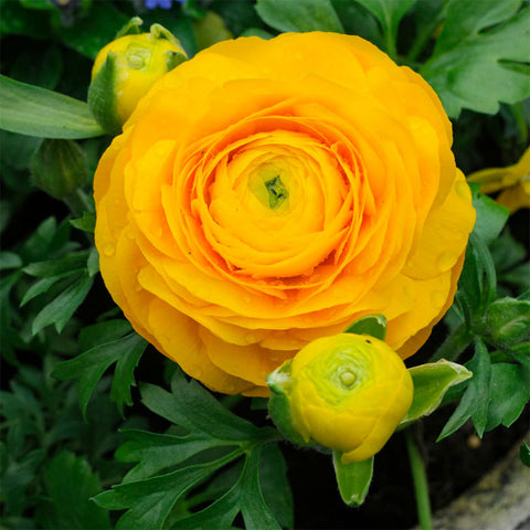 Ranunculus Yellow - 10 bulbs