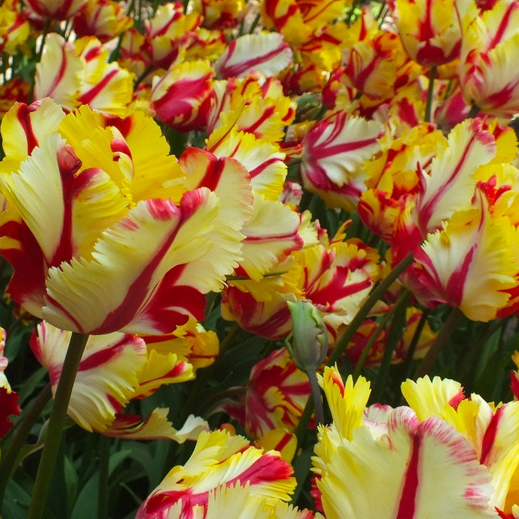 Tulip Flaming Parrot - 8 bulbs