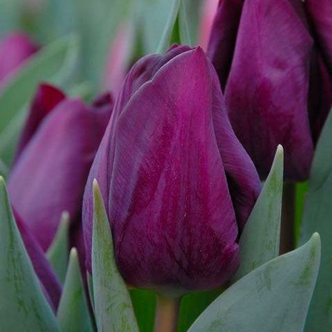 Tulip Purple Lady - 8 bulbs