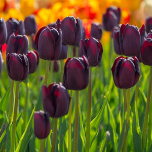 Tulip Queen of Night - 8 bulbs