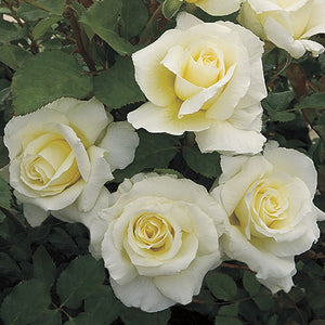 White Licorice Rose