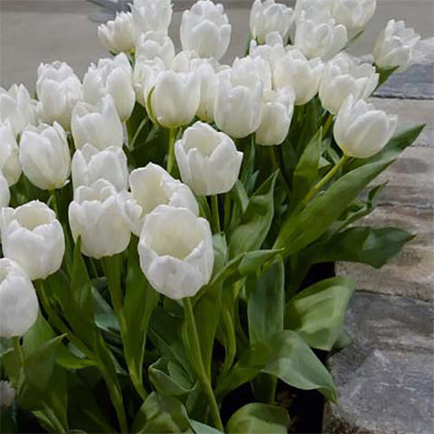 Tulip White Marvel - 8 bulbs