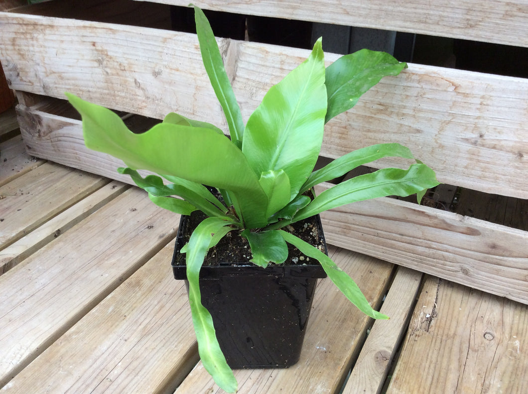 Bird's Nest Fern (Asplenium) 4