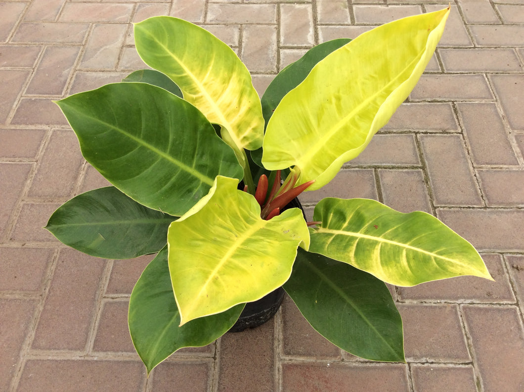 Philodendron 'Moonlight' 2gal