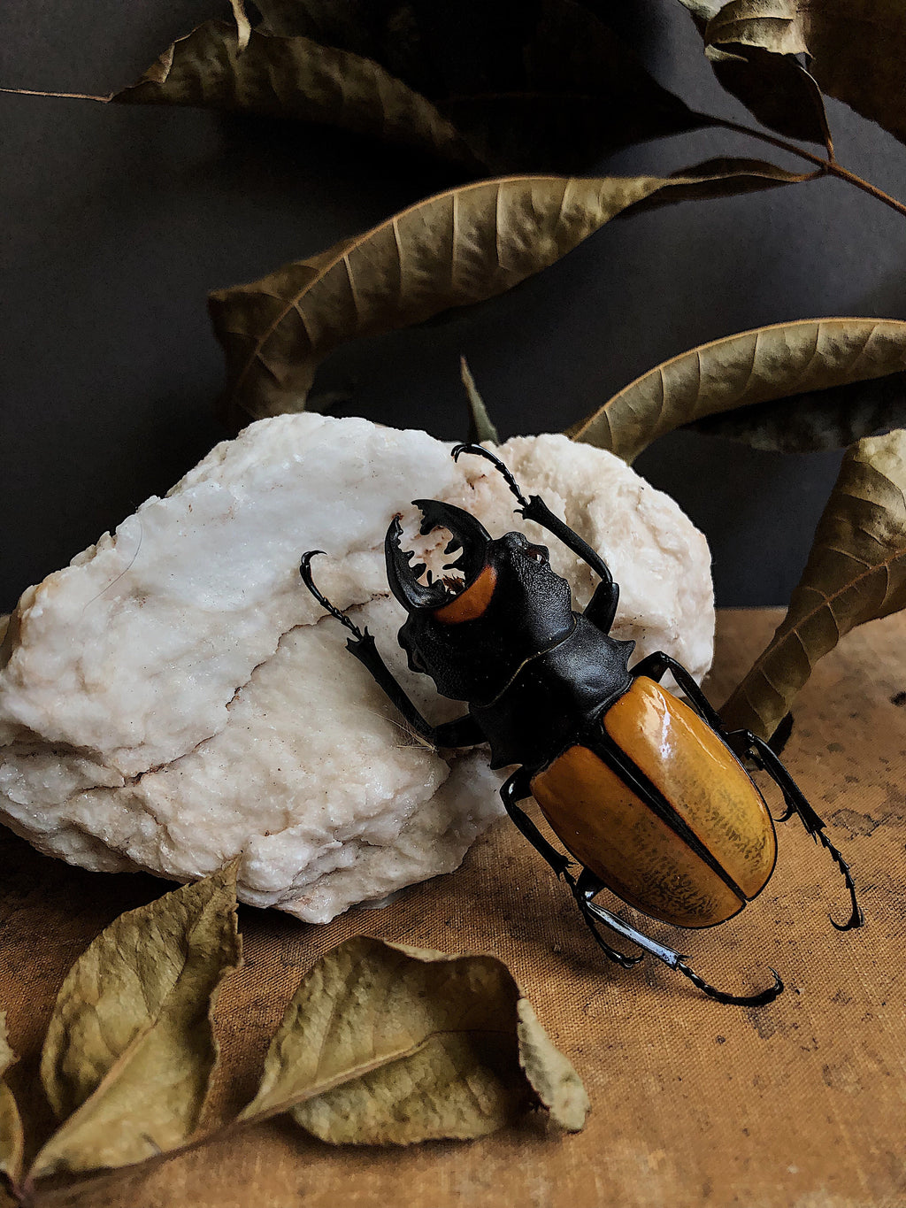 Unmounted Beetle