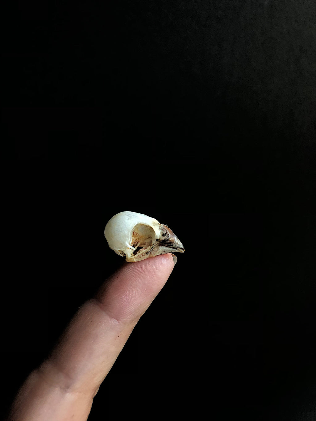 Eurasian Tree Sparrow Bird Skull, SBG128