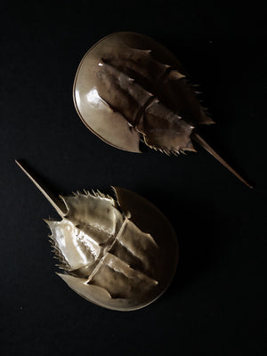 "6-8"" Horseshoe Crab Exoskeleton, PSG04"