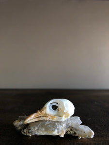 Common Iora Bird Skull, SBG111