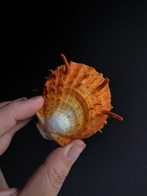 Orange Spiny Oyster, NAG12