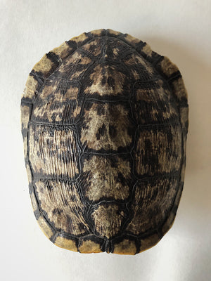 SB 92, Red Eared Slider Turtle Shell