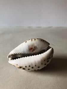 Tiger Cowrie Shell, NAG46