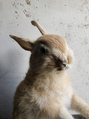 Rabbit Taxidermy