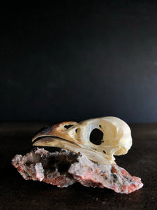 Greater Coucal Bird Skull, SBG112