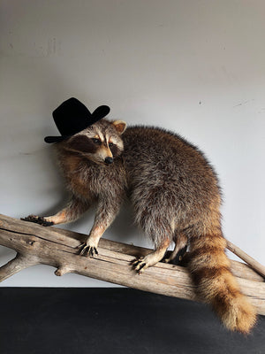 Party Raccoon Taxidermy, TA31