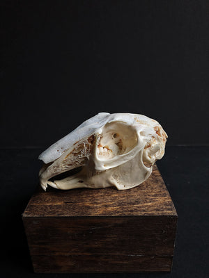African Cape Hare Skull, SBG116