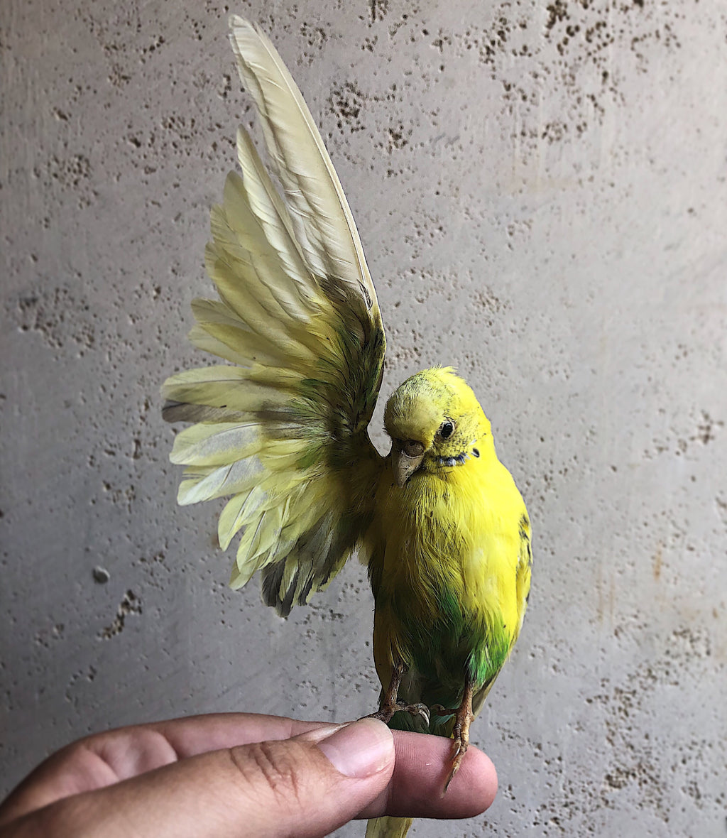Yellow Parakeet Taxidermy