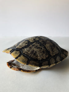 "6-7"" Red Eared Slider Turtle Shell, SBG92"