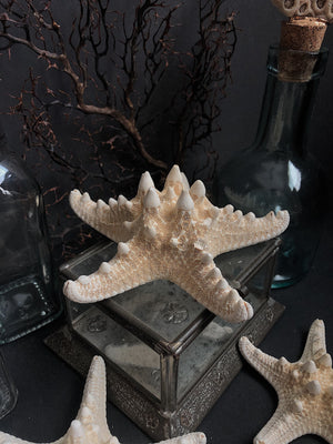NA02, White Knobby Starfish