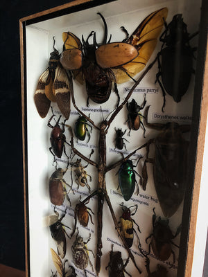 Framed Insect Collection, IN38