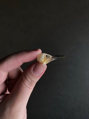 Sooty-headed Bulbul Bird Skull, SBG109