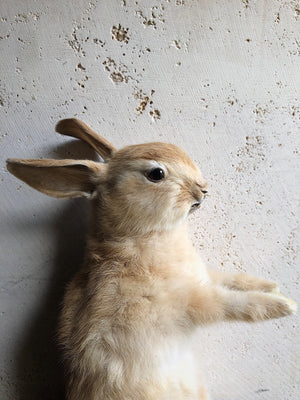 Rabbit Taxidermy, TA51