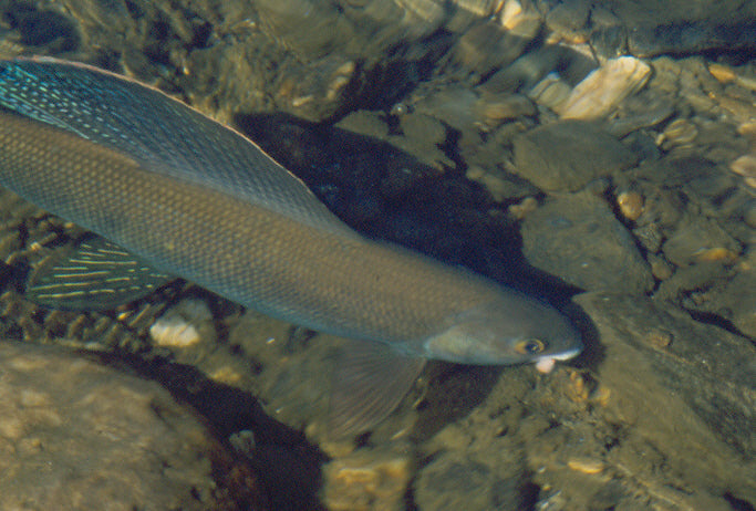 Nenana Grayling
