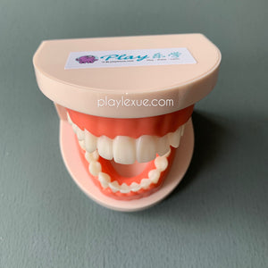Mini teeth model (fixed teeth)