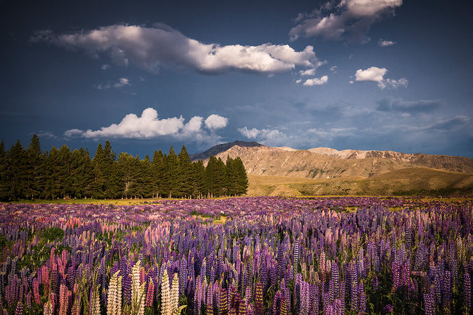 Lake-Tekapo-Lupins-Lupine-Field-Mountains-Mackenzie-Country-New-Zealand-Mark-Hannah-Photography