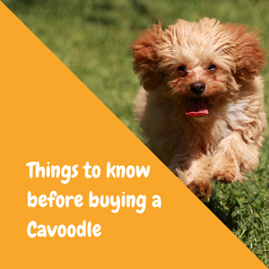 things to know before buying a cavoodle