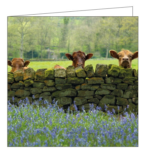 Abacus BBC Countryfile cattle and bluebells nidderdale blank card