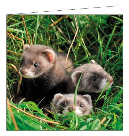 Abacus BBC Springwatch polecats blank card