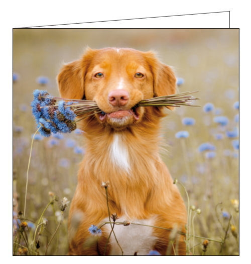 This blank card from Woodmansterne's fantastic Framed range of photographic cards shows a golden collie, sat in the middle of a field, very gently holding a bunch of flowers in his teeth.