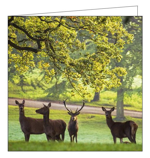 This blank cards from the National Trust features a photograph by Paul Harris showing three red deer under the trees in the deer park at Fountains Abbey/Studley Royal.  Fountains Abbey, North Yorkshire, was established by devout monks seeking a simpler existence. The atmospheric ruins that remain are a window into a way of life which shaped the medieval world. The deer park is home to Red, Fallow and Sika deer as well as many ancient trees.