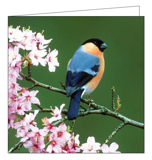 Woodmansterne RSBP bullfinch birds blank card Nickery Nook
