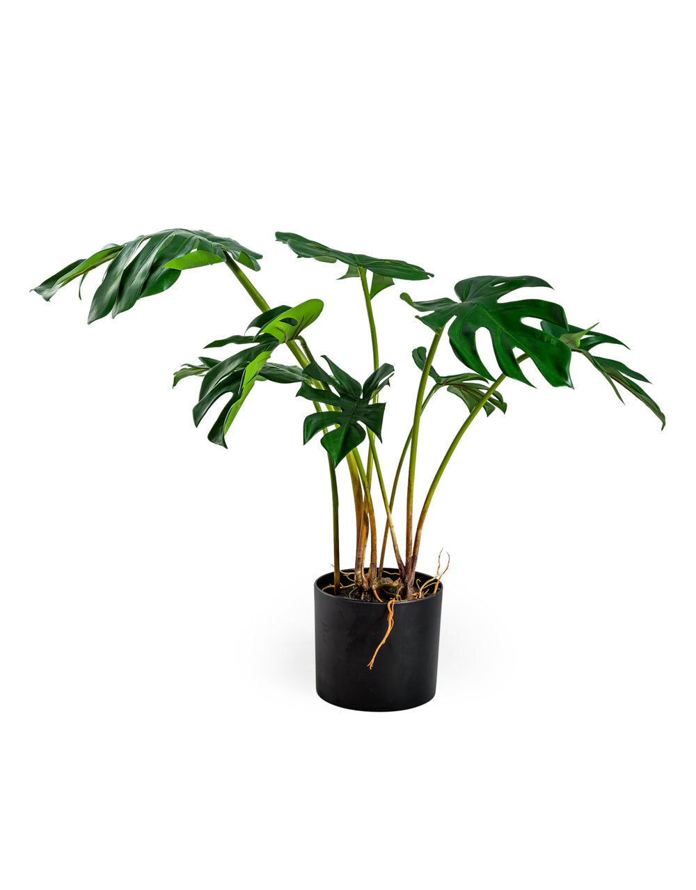 Potted Monstera