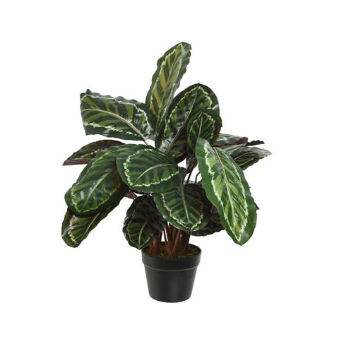 Calathea Plant in Pot