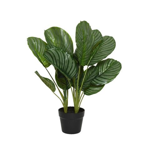 Large Calathea Plant in Pot