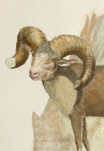 American Argali - Antique Copper Engraving 1827
