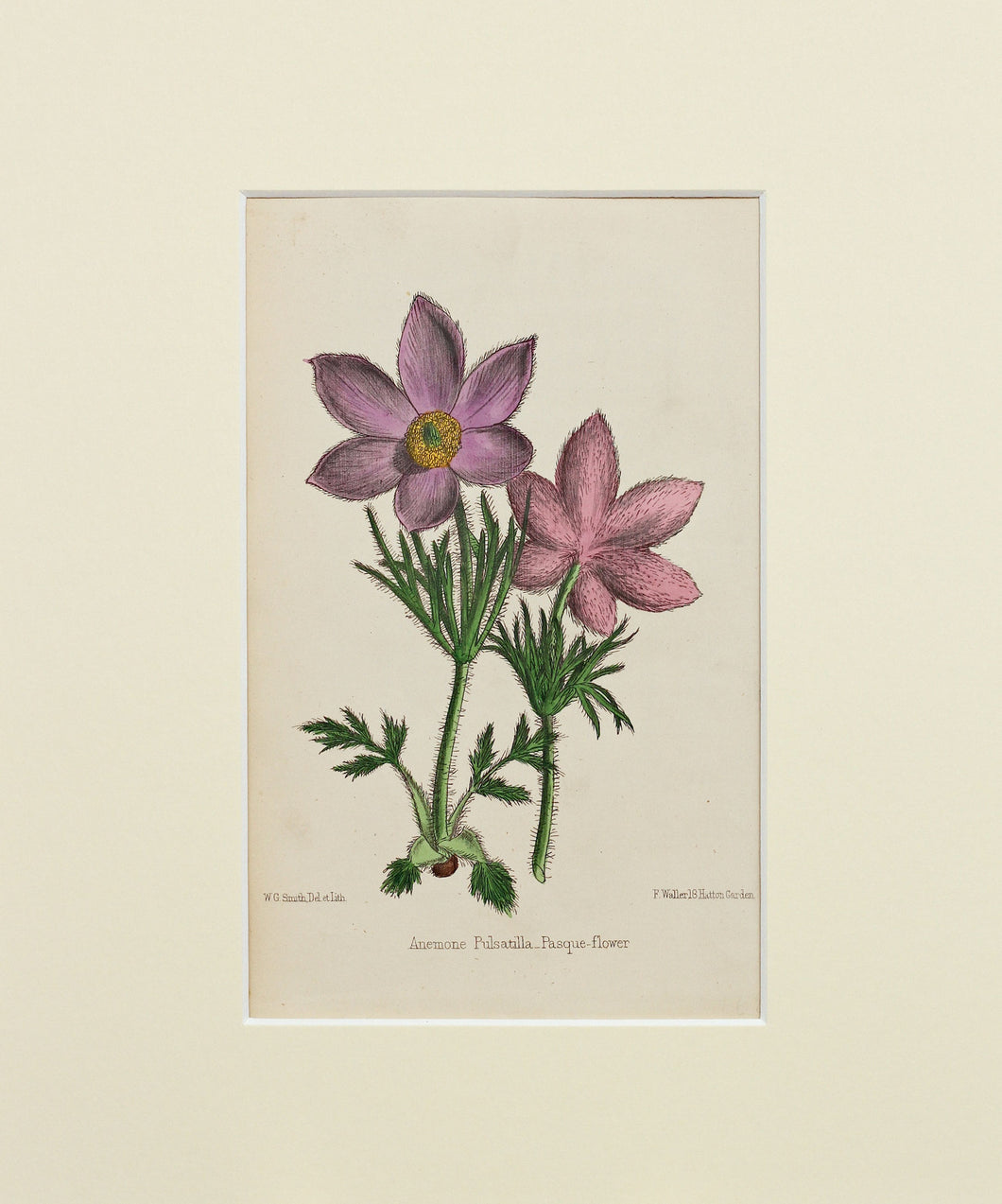 Pasque-Flower - Antique Wild Flower Lithograph circa 1860s
