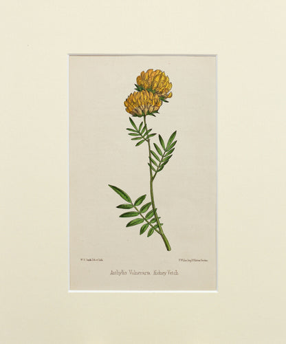 Kidney Vetch - Antique Wild Flower Lithograph circa 1860s
