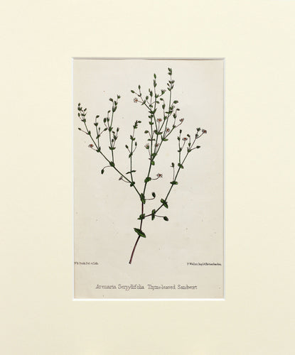 Thyme-leaved Sandwort - Antique Wild Flower Lithograph circa 1860s