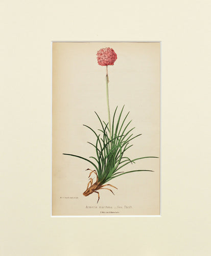 Sea Thrift - Antique Wild Flower Lithograph circa 1860s
