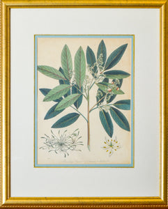 Branching Limonia and Common Mudwort - Antique Botanical Copper Engraving circa 1807