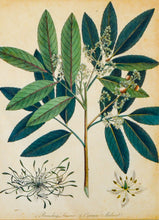 Load image into Gallery viewer, Branching Limonia and Common Mudwort - Antique Botanical Copper Engraving circa 1807